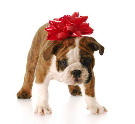 adorable english bulldog with red bow on his head standing