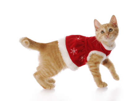 christmas pussy: adorable kitten or cat wearing red christmas dress with reflection on white background Stock Photo