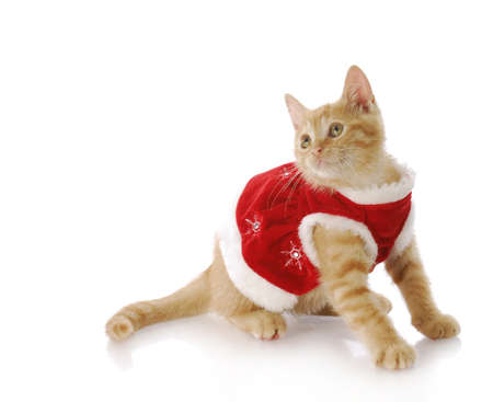 adorable kitten dressed up in red christmas dress with reflection on white background photo