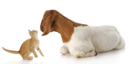 cute kitten and goat doeling interacting with each other with reflection on white background Stock Photo