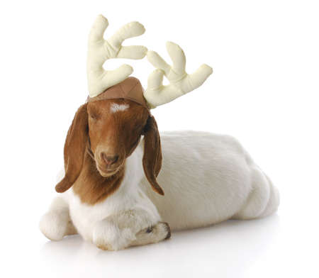 christmas costume: south african boer goat doeling dressed up with reindeer antlers with reflection on white background Stock Photo