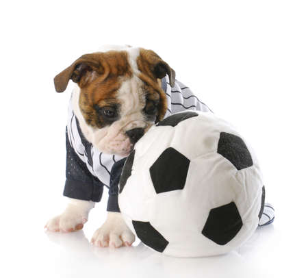 adorable english bulldog puppy sitting beside soccer ball with reflection on white background photo