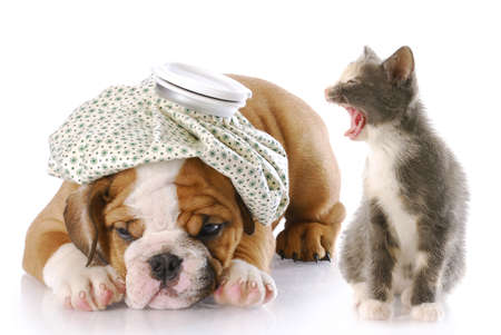 angry kitten mouthing off to english bulldog puppy with a headache photo