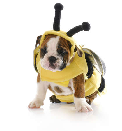 adorable eight week old english bulldog puppy wearing bumble bee costume with reflection on white background photo