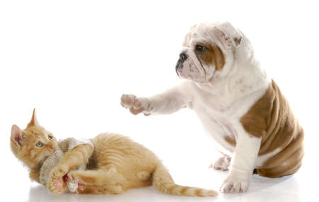 mean: cute english bulldog puppy bullying kitten with scared expression with reflection on white background Stock Photo