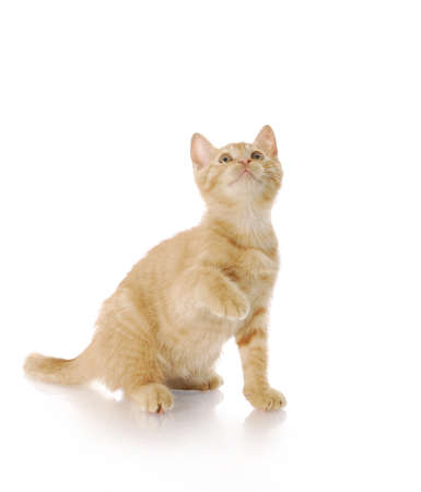 cat grooming: adorable nine week old kitten looking up with reflection on white background