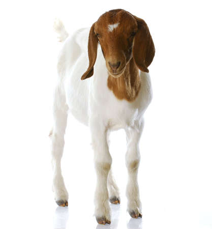 South African boer goat doeling standing with reflection on white background