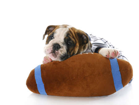 adorable eight week old english bulldog puppy laying with stuffed football with reflection on white background Stock Photo - 7499372
