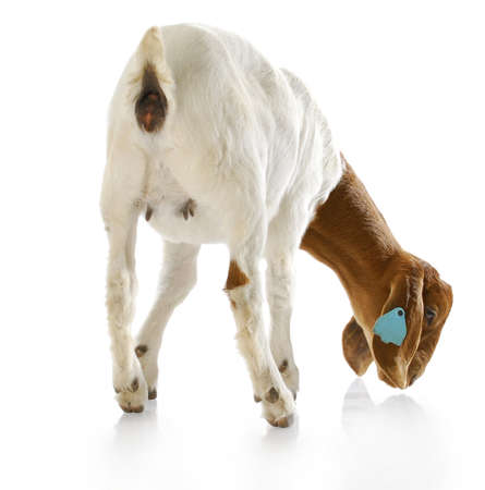 udder: rear view of south african boer goat doeling with reflection on white background