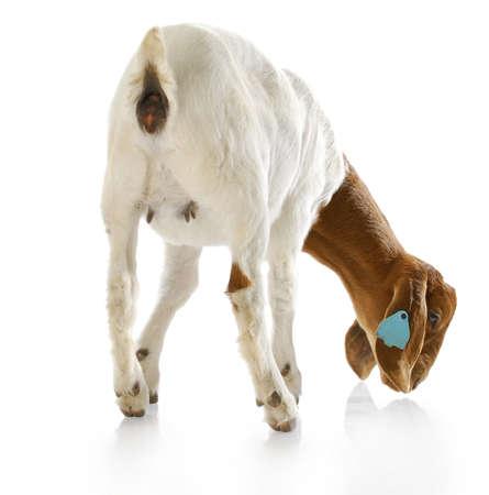 cabras: Vista posterior del Sur africano cabra boer doeling con una reflexi�n sobre fondo blanco