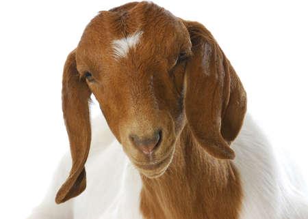 boer: Retrato de doeling de cabra boer sur africano sobre fondo blanco