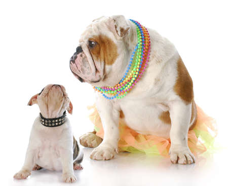english bulldog mother sitting with puppy looking up at her face with reflection on white background photo