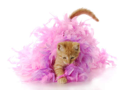 boa: kitten playing - nine week old kitten playing in pink feather boa with reflection on white background