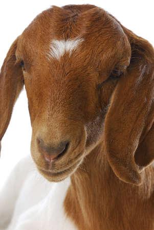 boer: cabra - doeling de cabra boer sur africano sobre fondo blanco  Foto de archivo