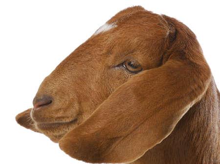goat - south african boer goat doeling on white background