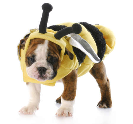 humor: english bulldog puppy standing wearing bee costume with reflection on white background