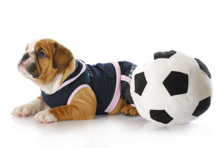 english bulldog puppy female wearing sports jersey playing with soccer ball photo
