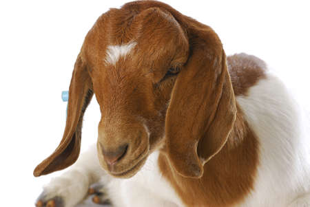 boer: cabra - doeling de cabra boer sur africano con o�do etiquetado se establecen sobre fondo blanco