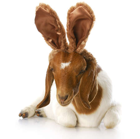 goat wearing bunny ears with reflection on white background photo