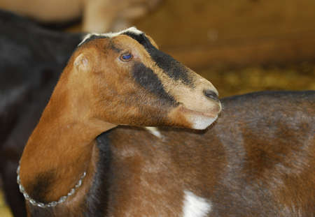 goat in a barn - purebred LaMancha goat Stock Photo - 7570158