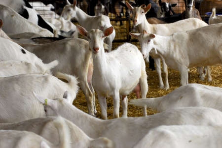 herd of dairy goat in a barn - purebred saanen and nubian