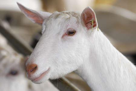 Saanen dairy goat portrait - purebred Stock Photo - 7570181