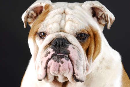 male english bulldog head shot on black background