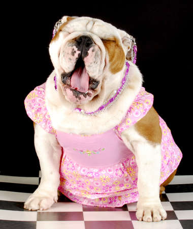 adorable english bulldog wearing pink dress and jewellery with mouth open yawning on black background Stock Photo - 7570166