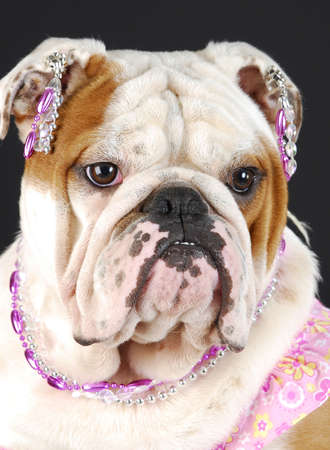 adorable english bulldog wearing pink clothing and jewellry on black background Stock Photo - 7570184