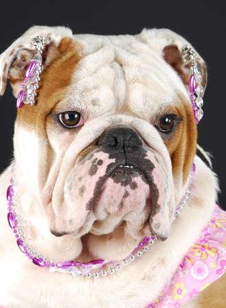 adorable english bulldog wearing pink clothing and jewellry on black background Stock Photo - 7570184