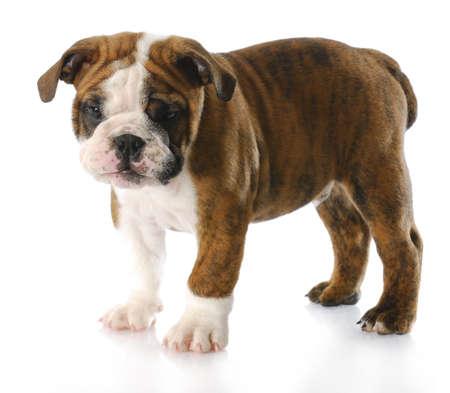 old english: english bulldog puppy standing - nine weeks old