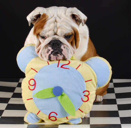 adorable english bulldog with head resting on stuffed clock on black background photo