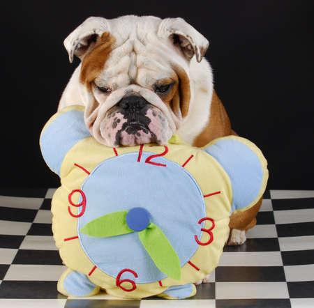adorable english bulldog with head resting on stuffed clock on black background photo