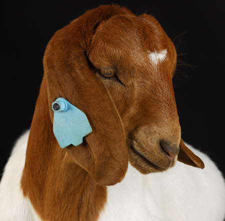 boer: cabra - raza pura B�er de Sud�frica sobre fondo negro  Foto de archivo