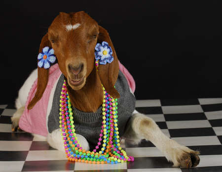 boer: goat dressed up as a girl on black background - purebred south african boer