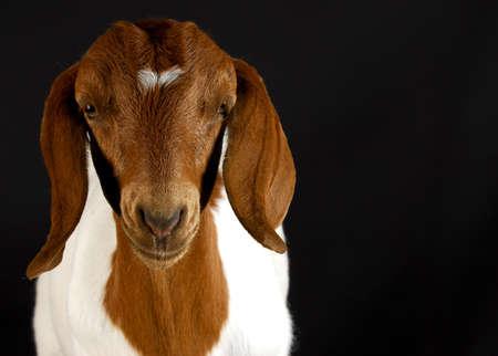 boer: Retrato de cabra sobre fondo negro - sala para copyspace - raza pura boer sur africano