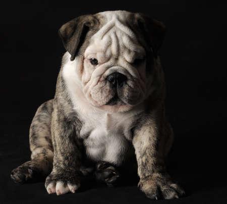 english bulldog puppy sitting on black background photo