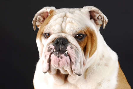 ugliness: male english bulldog with bottom canines sticking out on black background Stock Photo
