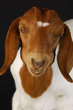 boer: cabra masticar la cud - raza pura boer sur africano