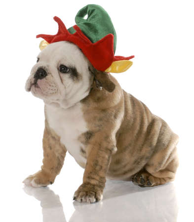 like english: english bulldog puppy dressed up like a christmas elf Stock Photo