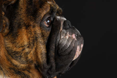 slobber: english bulldog face from the side on black background