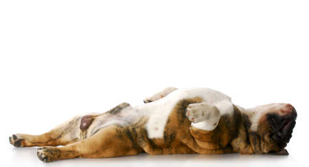 tact: english bulldog laying on back stretched out sleeping with reflection on white background