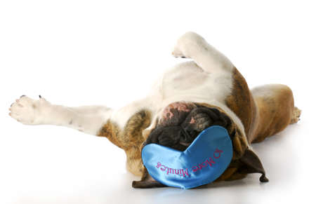 english bulldog laying on back with sleep mask that says - ten more minutes with reflection on white background