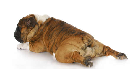 english bulldog with back legs stretched out behind with reflection on white background