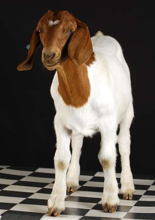 boer: pie de cabra sobre fondo negro - raza pura boer sur africano