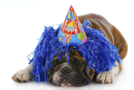 dog wearing silly birthday hat and wig with reflection on white background Stock Photo - 7663868