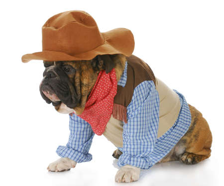 english bulldog wearing western hat and cowboy shirt with reflection on white background photo