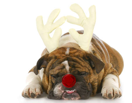 christmas costume: english bulldog wearing rudolph antlers and red nose with reflection on white background Stock Photo