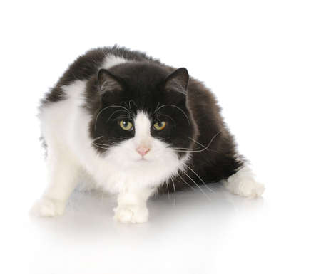 black and white long haired cat with reflection on white background Stock Photo