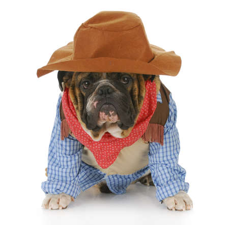 funny costume: english bulldog wearing western hat and cowboy shirt with reflection on white background